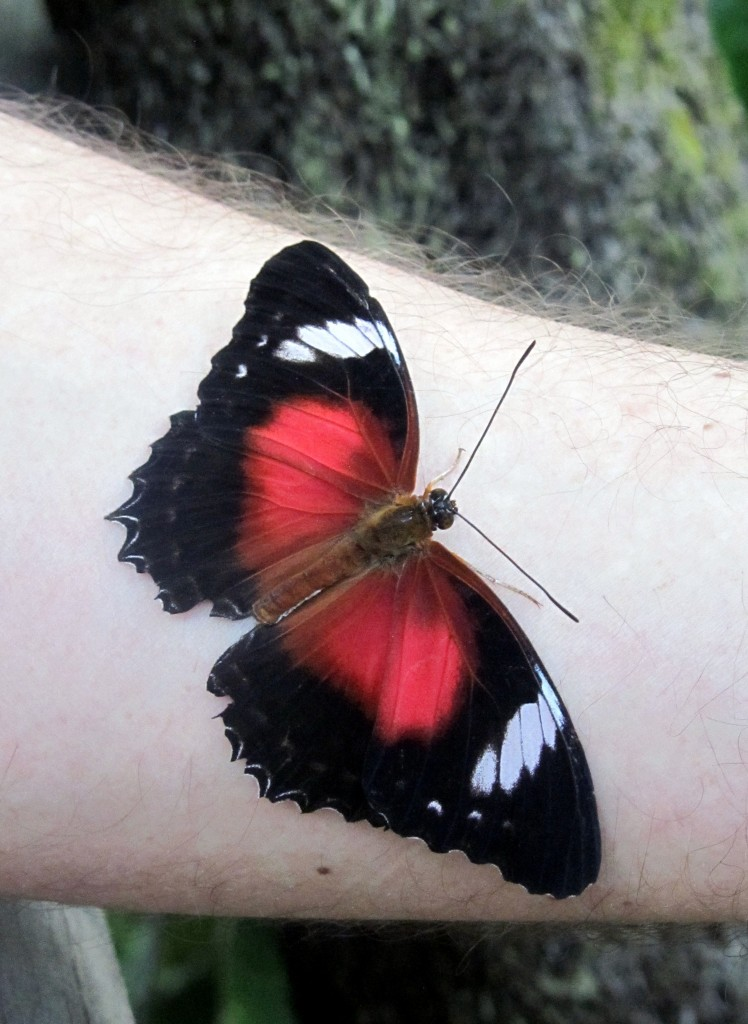 This beauitful butterfly landed on my brother-in-law's arm - AND stayed there long enough for us to get a photograph.
